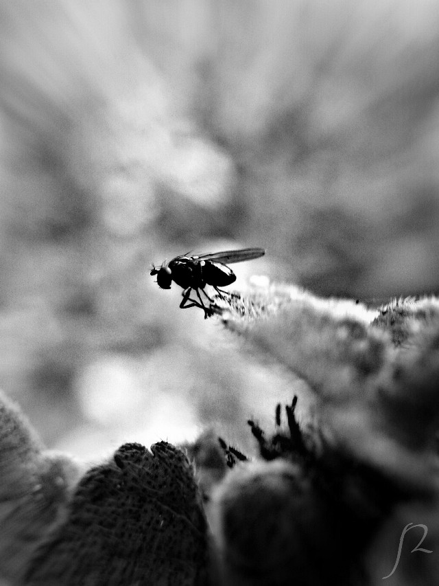 #blackandwhite #cute #emotions #flower #freetoedit #hdr #nature #petsandanimals #photography #sepia #spring #summer #travel #mauiuaui #parrenial #awesome #great #image #top #100 #wallpaper #phone #print #field  #fly