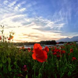 wppflowers poppies redflowers naturephotography olloclipactive