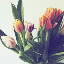 wppflowers springtime beautiful colorful tulips