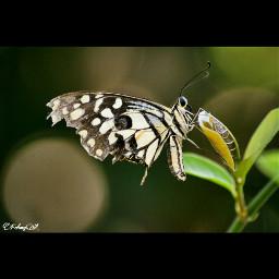 macro macrophotografy macrophoto butterfly