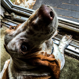 posingforthecamera livinandlovinlife relaxedandhappy myrescuedbassethound colorphotography