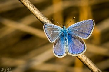butterfly blue freetoedit nature closeup