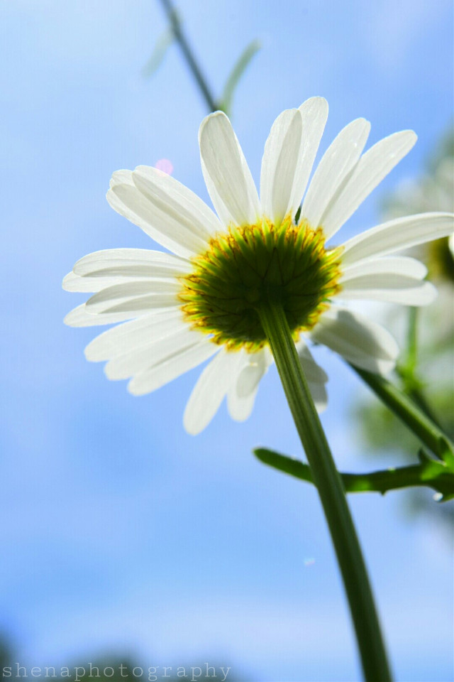 Don't let other peoples' image of beauty or perfection define you. You are absolutely unique and never forget it.. 💟 #daisy #nature #beauty #flower #lookup #freetoedit #spring  #photography