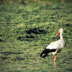 stork bird wildlife photography nature