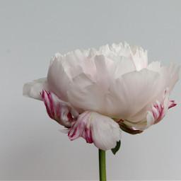 freetoedit paeonia flower nature