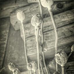 blackandwhite red poppy stillife nature