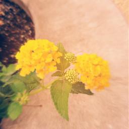 longwoodgardens zoomblureffect yellow