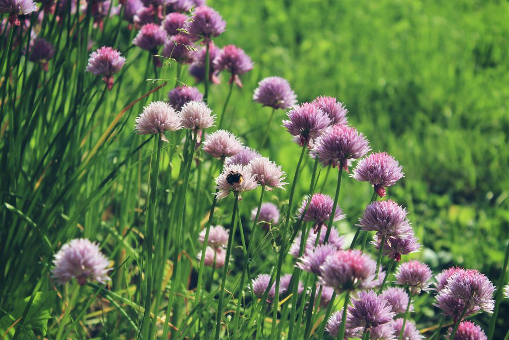 #nature #flower #plant #chives #photography