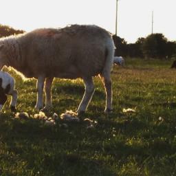 freetoedit lamb mom
