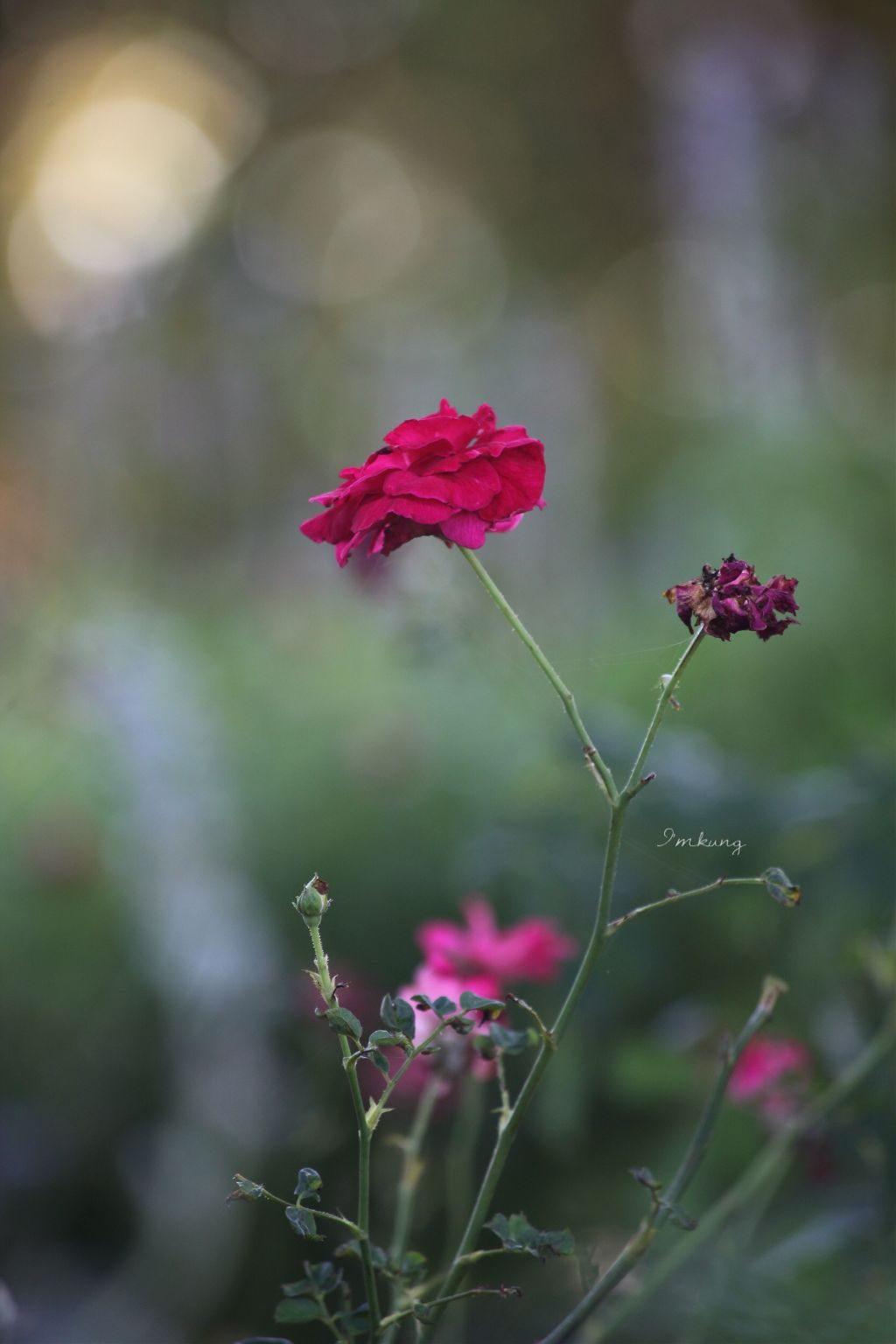 #rose #red  #beautiful #flower #FreeToEdit