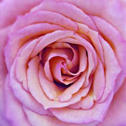 pink happy rose flowercard freetoedit