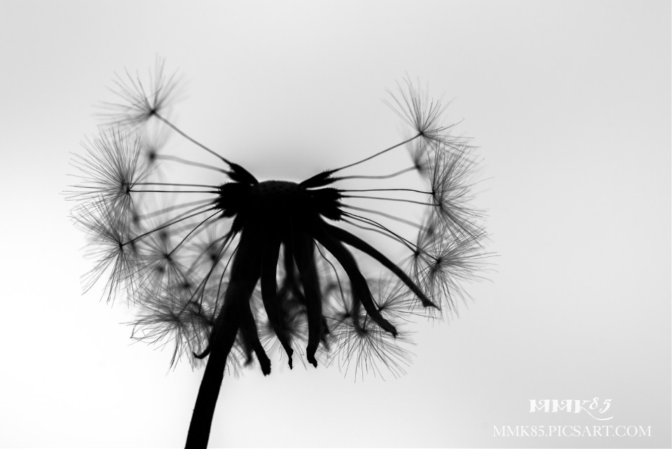 Another version of the dandelion from our #PAmeeting4 - make a wish - #dandelion #blackandwhite #silhouette #flower #nature #photography #nikon #d7200 #berlin