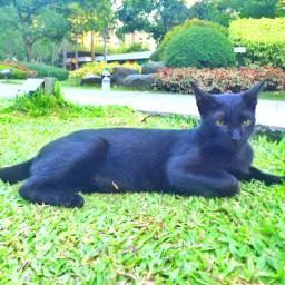 cat blackcat omen superstition animals nature photography