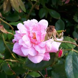 pink flower nature rose sardinia