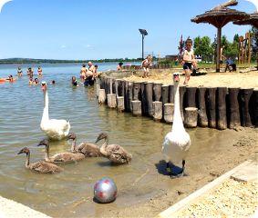 nature summer lakeside swan