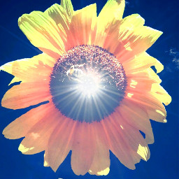 picsart photography graphicdesign sunflower summer