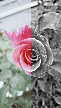 rose rosa blackandwhite color blackandpink