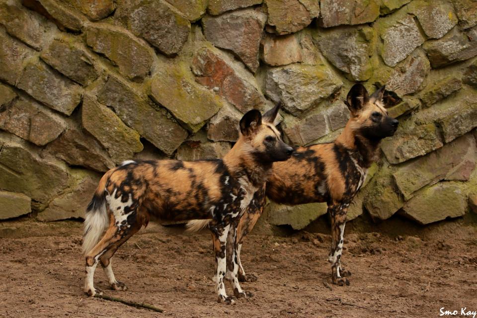 #africanwilddog #photography #nature #petsandanimals #animals #zoo #animal #wildlife