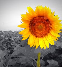 sunflower iphonephotography yellow yellowflower colorsplash freetoedit