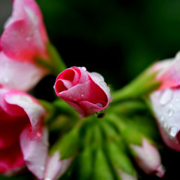 freetoedit colorful flower nature photography