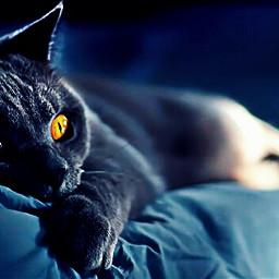 bed watchingtv attentiveears swissbluecat freetoedit