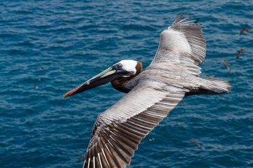 pelican birds birdsphotography soar fly