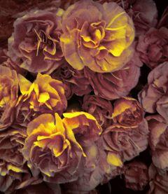 freetoedit roses myphoto