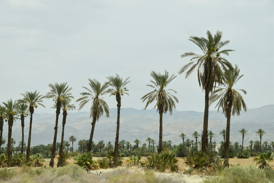 Mindshift Day 206  Creativity involves breaking out of established patterns in order to look at things in a different way. -Edward de Bono   #FreeToEdit #mindshift #day205 #palms #trees #nature #California #mountains #background #pattern #lowtohigh #progression