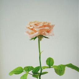 summer rose flower freetoedit
