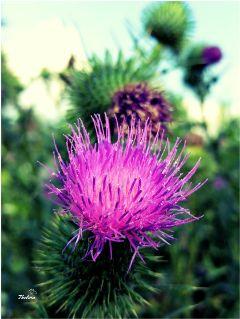 crossprocesstwo nettesdailyinspiration myphoto flowers wildflowers