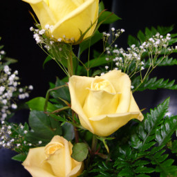 photography yellowroses noedit