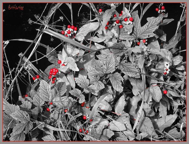 #photography,#nature,#flora,#berries,#riverbank
